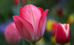 A Happy 1st of May (AnyMotion) Tags: flowers plants primavera nature floral colors garden spring colours tulips blossom bokeh frankfurt natur pflanzen blumen tulip blte garten printemps tulipa farben frhling tulpe 2016 anymotion 7d2 canoneos7dmarkii
