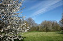 Spring Morning (Mabacam) Tags: trees sky cloud london field clouds blossom meadow ham richmond cirrus teddington 2016 teddingtonlock hamlands