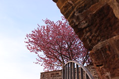 Maybe this time... (Nathalie_Dsire) Tags: building brick wall evening spring gate bricks cherryblossom oldtown leonberg cherrytree