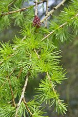 Deciduous Conifer (Chris Mullineux) Tags: tree spring deciduous larch oxfordshire conifer stokewood stokelyne