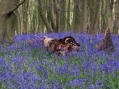 IMG_0191 (Joy Shakespeare) Tags: uk coventry woodlandtrust allesley elkinwood