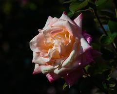 Rose / Boston Common (Oliver Leveritt) Tags: flower nature rose boston bostoncommon nikond90 oliverleverittphotography afsdxnikkor55300mmf4556gedvr