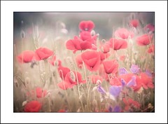 Spring dreaming (tmuriel67) Tags: flowers abstract flores outdoors spring poppy ambiente amapola