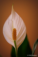 Peace (Rollingstone1) Tags: flower macro nature fleur flora fiore peacelily spathiphyllum