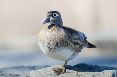 Wood Duck (female) resting... (PerfumeG2011 (off & on)) Tags: canada birds female spring nikon ducks woodduck 2016 northamericanbirds ddo d7000 nikond7000 williamcosgrovecentennialparkdollarddesormeauxqc