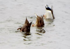 bottoms up mergansers ducks (whimperandwhine) Tags: ducktails