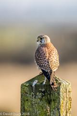 (DavidQuick) Tags: england reserve hampshire marsh kestrel wildlifetrust farlington copyrightdavidquick2016