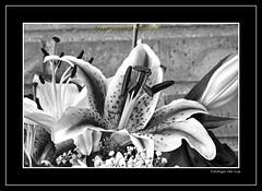 "AZUCENA ROSA (CODIGO DE LUZ ""El Fotgrafo"") Tags: blackandwhite bw planta byn blancoynegro monocromo flor ramo azucena brancoepreto amarilis belladona pepegutierrez florornamental pgutierrez cdigodeluz azucenadesantapaula"