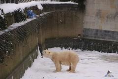 Eisbr Fiete im Zoo Rostock 23.01.2016  08 (Fruehlingsstern) Tags: vienna zoo polarbear vilma eisbr erdmnnchen fiete zoorostock geparden baumknguru canoneos750 tamron16300