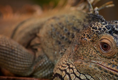 (sam.allworthy) Tags: park green eye scale dinosaur skin lizard safari iguana scales longleat