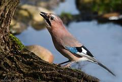 Eichelhher am Teich (Weinstckle) Tags: vogel rabenvogel eichelhher