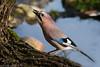 Eichelhäher am Teich (Weinstöckle) Tags: vogel rabenvogel eichelhäher