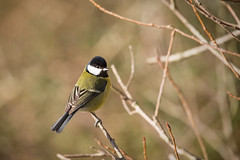 Great Tit posing! (Chris Sweet Photography) Tags: uk wild bird nature birds nikon tit tits wildlife sigma greattit 150500mm