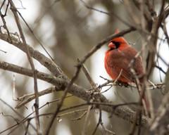 Northern Cardinal Closeup Landscape (ralph miner) Tags: cardinal northerncardinal hawthornehill