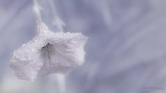 In Her Frozen Beauty (JDS Fine Art & Fashion Photography) Tags: winter flower macro ice nature closeup frozen pastel dreamy frozenflower
