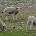 Merino Sheep & Lambs, Godley Peak Road, MacKenzie Country