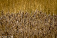(DavidQuick) Tags: england reeds reserve hampshire marsh wildlifetrust farlington beardedtit copyrightdavidquick2016