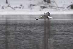 Eagle-46831.jpg (Mully410 * Images) Tags: winter snow cold bird ice water birds wisconsin river eagle birding baldeagle raptor mississippiriver birdsinflight birdwatching prescott birdsofprey stcroixriver