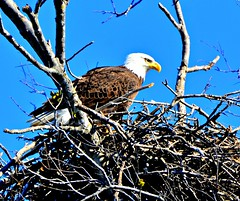Mother Eagle at The Nest. (The Old Texan) Tags: usa nest baldeagle