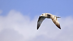 Seagull in Flight (Johnnie Shene Photography(Thanks, 1Million+ Views)) Tags: wild sky people motion colour macro bird nature animal horizontal canon lens photography eos rebel spread fly flying still interesting wings scenery kiss view angle natural image zoom outdoor no wildlife seagull gull side low birding scenic sigma tranquility scene apo full western theme midair limbs gliding magnified flapping awe 70300mm length flap tranquil freshness dg lari stationary t3i x5 behaviour laridae  fragility 600d f456