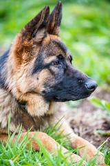 _DSC0270-31012016 (Miguel A. Quints V.) Tags: tamron alsatian allemand berger schferhund pastoraleman deutscherschferhund d810 alsaciano tamron7020028vcusd