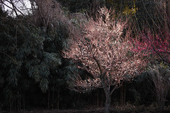 DP3M6828nr0 (ken_sw) Tags: spring sigma apricot foveon dp3merrill