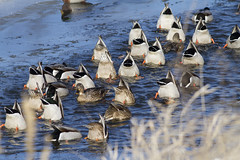"""Okay Everyone, On The Count of Three..."" (Polytelis) Tags: winter ice duck mooning mallard foxriver anasplatyrhynchos dabbling"