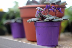 Purple at the Greenhouse (Starfreak611) Tags: flowers plants plant flower green nature floral warm purple greenhouse greenery naturephotography