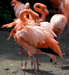 Caribbean Flamingo (Phoenicopterus ruber) (Seventh Heaven Photography) Tags: park pink bird singapore asia flamingo feathers caribbean jurong phoenicopterusruber ruber nikond3200 phoenicopterus