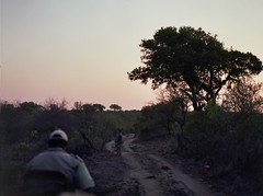 Into the sunset with a zebra (chillbay) Tags: africa camp southafrica safari zebra krugernationalpark kruger tandatula krugerafrica