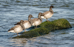 Brants Geese posing (tresed47) Tags: birds us geese newjersey content places folder takenby 2016 brantgoose peterscamera petersphotos canon7d 201602feb 20160202newjerseybirds barnegatlightsp