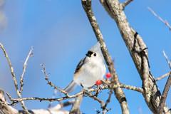quabbinwinter2016-415 (gtxjimmy) Tags: winter bird mouse nikon tit massachusetts newengland reservoir tufted quabbin tamron songbird quabbinreservoir d600 watersupply nikond600 150600mm