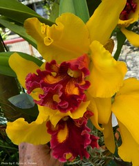Lc. Amber Glow Magnificent (Sylvio-Orqudeas) Tags: flowers flores orchids orchidaceae cattleya orqudeas hybrids hbridos
