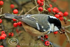 Coal Tit. (Olive Taylor. Thank you for your visit.) Tags: nature birds garden berries wildlife northumberland beaks coaltit northeastengland