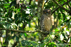 Brown fish owl (Bubo zeylonensis) (Tstudioz) Tags: nikon srilanka rare owls d90 camaflauge brownfishowl ketupazeylonensis wetzones