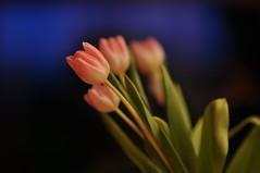 Tulipani (Mattia Pianca) Tags: flowers blue italy flower nature nikon bokeh blu f14 14 85mm natura hour di campo ora fiori nikkor fiore itali 85 pianta sfocato tulipani bl profondit samyang lastello