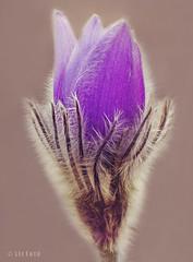 Lenyka (lajza27) Tags: macro nature canon spring nice furry hungary purple outdoor pastel serene termszet tavasz niceflower bristly kkrcsin lenykkrcsin vdett pulsatillagrandis szrske vdettvirg
