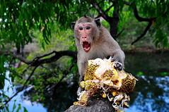 ,, Don't Try This at Home ,, (Jon in Thailand) Tags: reflection tree animals monkey eyes nikon wildlife jungle swamp nikkor fangs limb primate jackfruit pissedoff wildanimals d300 wildlifephotography 175528