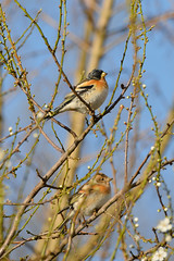 Pinson du Nord (choubidounette) Tags: pinson du nord fringilla montifringilla oiseau bird haute garonne 150600mm tamron nikon d800 sophie subotkiewiez