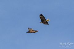 Bald Eagles battle for breakfast - Sequence - 6 of 42