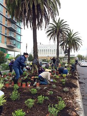 Pollinator Boulevard (San Francisco Public Works) Tags: urban forestry volunteers drought streetscape planting greening medians resistant