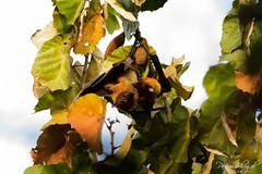 Flying Fox Pair (_DSF6399) (Param-Roving-Photog) Tags: lake playing tree animal fruit mammal wildlife indian mating punjab flyingfox bats wetland ramsar kapurthala kanjli