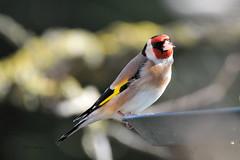 Chardonneret lgant (Carduelis carduelis) (Dantou007) Tags: france hiver jardin maison oiseau fra mangeoire chardonneret maubeuge largeur