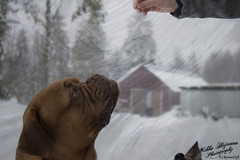 Dog. (hujanen53) Tags: winter dog animal suomi finland farm talvi elin lappeenranta dogportrait muotokuva koira doguedebordeaux bordeauxmastiff bordeauxdog canoneos700d canonefs1855mmf3556isstm bordeauxndoggi