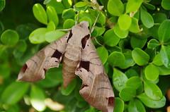 Achemon Sphinx Moth (sarowen) Tags: leaves sphinx moth deadleaves achemon achemonsphinx achemonsphinxmoth