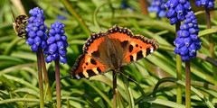 Small Tortoiseshell and honey bee. (AndyorDij) Tags: smalltortoiseshellbutterfly smalltortoiseshell honeybee bee insects insect grapehyacinth muscari panorama empingham england rutland uk unitedkingdom 2016 spring andrewdejardin lepidoptera
