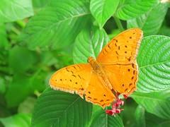 Vindula arsinoe 4 (barryaceae) Tags: house butterfly harbour australia nsw coffs the ausbutterfly