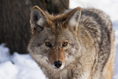 Coyote ! (alainpoirier48) Tags: coyote parcomega omegapark