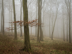 Quiescence (Damian_Ward) Tags: wood morning trees mist misty fog forest woodland photography chilterns buckinghamshire foggy bucks beech wendover astonhill thechilterns chilternhills wendoverwoods damianward ©damianward