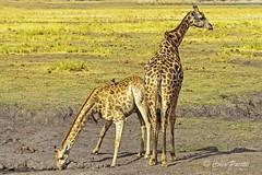 southern giraffe6 (giraffa camelopardalis giraffa) (Colin Pacitti) Tags: animal outdoor ngc npc giraffes wildanimal coth southerngiraffe giraffacamelopardalisgiraffa fantasticwildlife coth5 hennysanimals sunrays5 maleandfemalegiraffes
